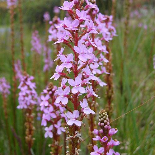 - Grass Trigger Plant