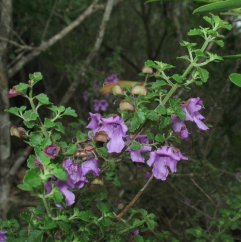 Prostanthera incisa - Native Thyme
