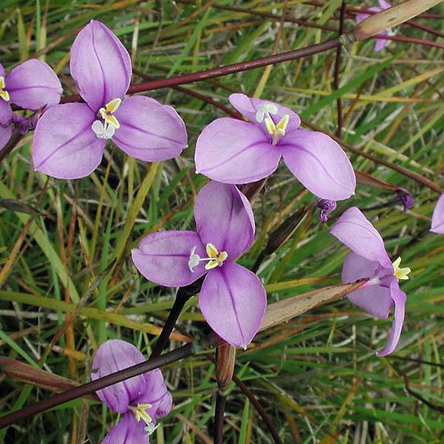 Native Iris - Patersonia Occidentalis
