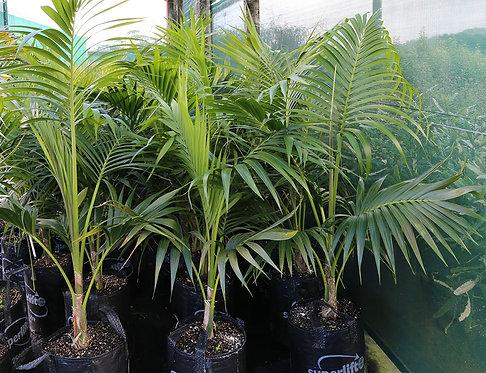 Howea Forsteriana