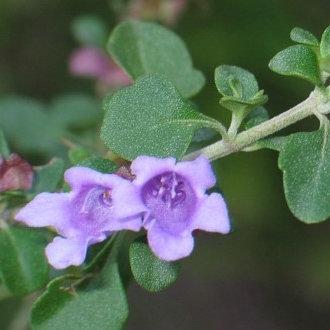 Round Leaf Mint Bush - Prostanthera rotundifolia