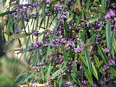 Hovea Acutifolia