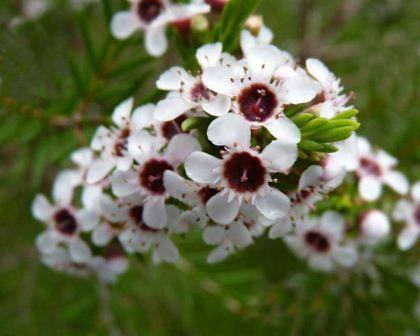 Chamelaucium floriferum - Walpole Wax