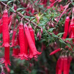 Epacris Nectar Pink