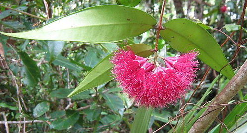 Powderpuff Lilly Pilly - Syzygium Wilsonii
