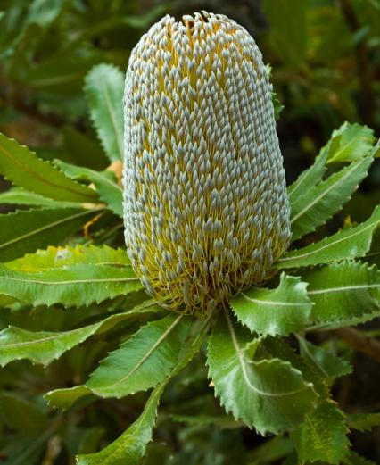 Banksia serrata.PNG
