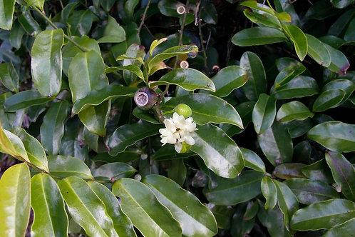 Eupomatia Laurina - Bolwarras -Native Guava