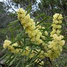 Acacia suaveolens.PNG