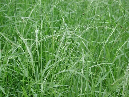 Microlaena stipoides - Weeping Grass