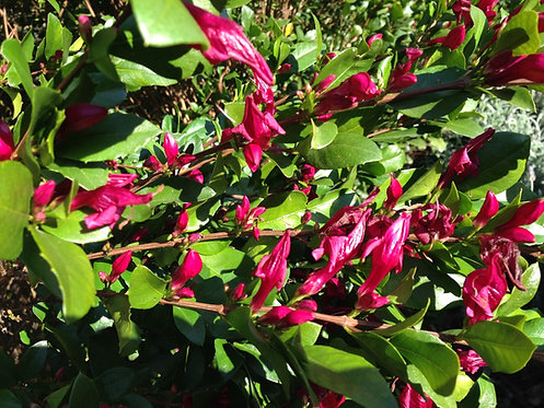 Holly Fuchsia - Graptophyllum ilicifolium
