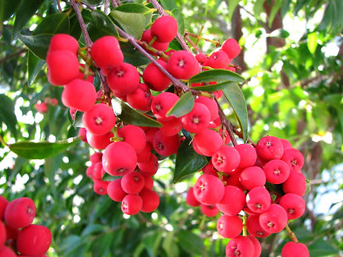 Riberry - Syzygium Luehmannii