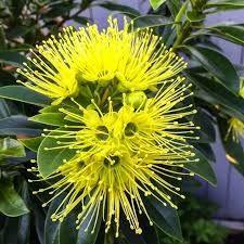 Fairhill Gold - Xanthostemon chrysanthis