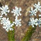 Conospermum taxifolium.PNG