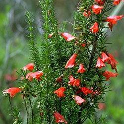 Prostanthera Aspalathoides - Scarlet Mintbush