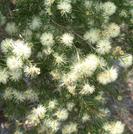 Melaleuca nodosa.PNG