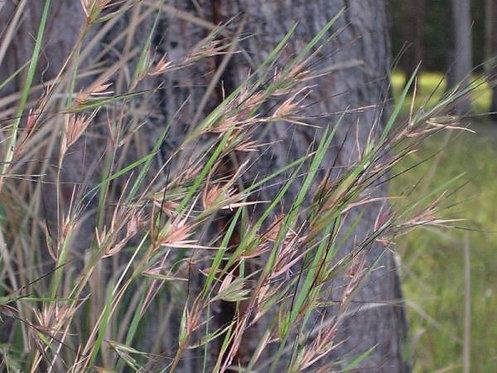 Kangaroo Grass Seeds - Themeda triandra