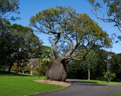 Brachychiton Rupestris - Queensland Bottle Tree