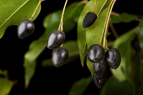 Native Olive - Olea paniculata