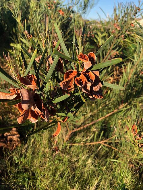 Acacia Suaveolen - Seed