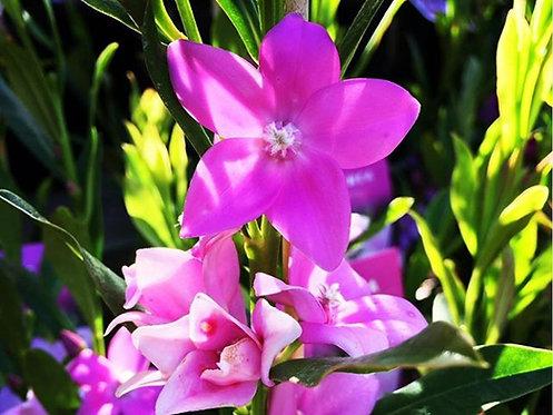 Crowea Saligna - Large Flower Form