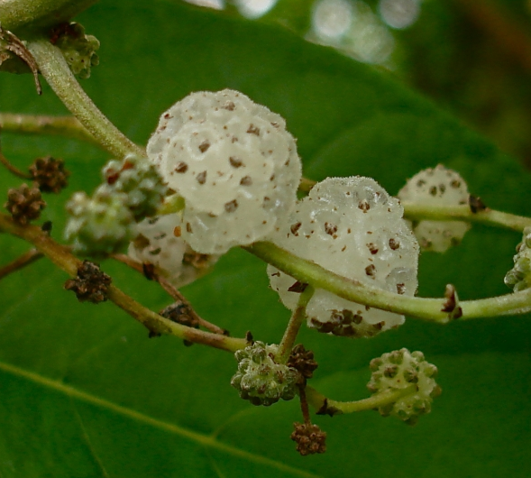Native Mulberry 2