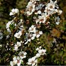 Leptospermum trinervium.PNG