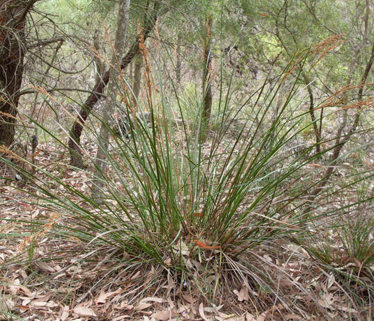 Lepidosperma laterale.PNG