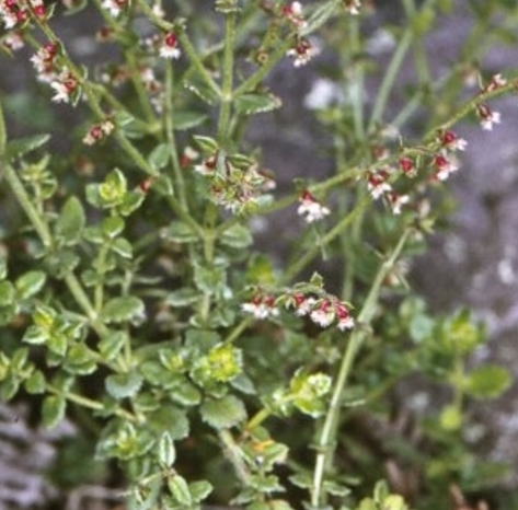 Gonocarpus teucrioides.PNG