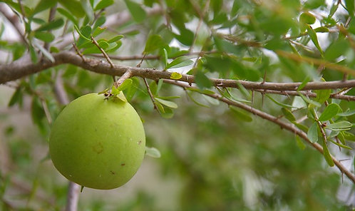 Pittosporum Spinescens - Wallaby Apple