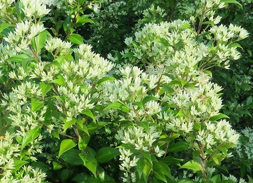 Backhousia Myrtifolia - Cinnamon Myrtle