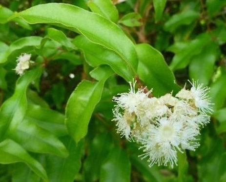 Backhousia Anisata - Aniseed Myrtle