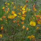 Bossiaea heterophylla.PNG