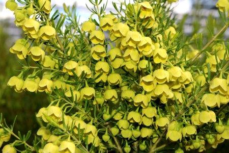 Yellow Boronia - Boronia Megastigma