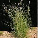 Eragrostis brownii.PNG