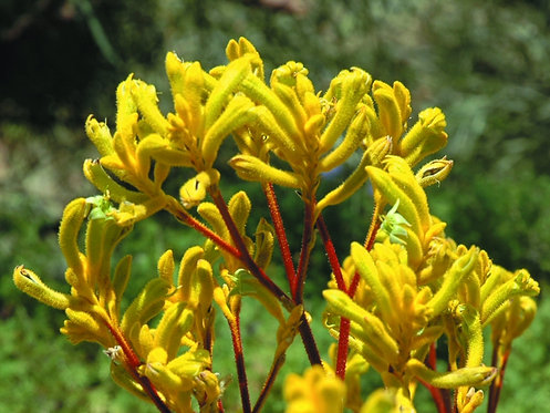 Kangaroo Paw - Yellow Gem