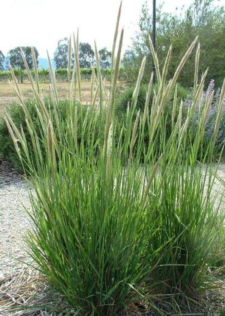 Dichelachne Crinita - Longhair Plume Grass