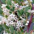 Brachyloma dapnoides.PNG
