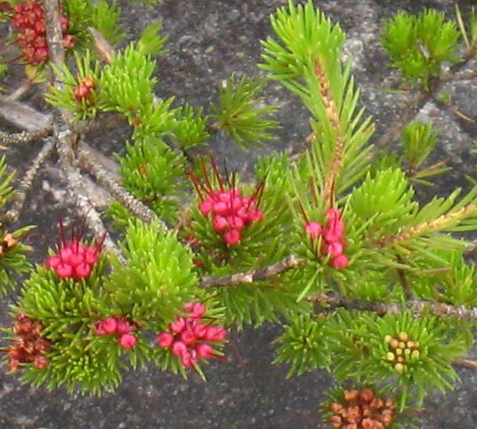 Darwinia fascicularis.PNG