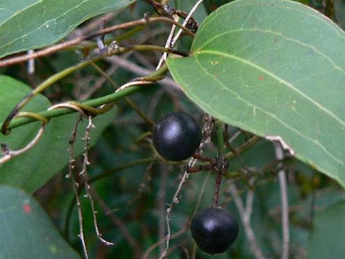 Sarsaparilla - Smilax Australis