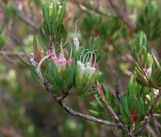Darwinia leptantha.PNG