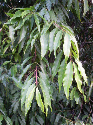 Weeping Lily Pilly - Syzygium Floribundum