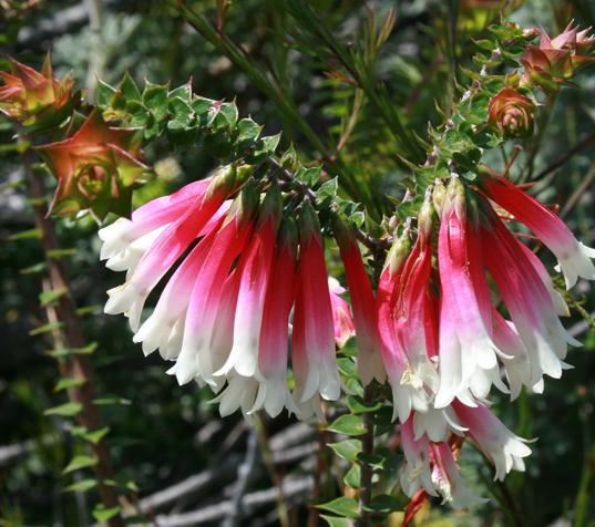 Epacris longiflora.PNG
