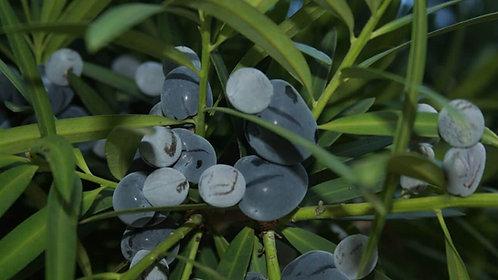Illawarra Plum - Podocarpus Elatus