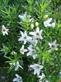 Myoporum Parvifolium - Creeping Boobialla