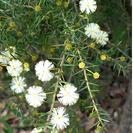 Acacia ulicifolia.PNG