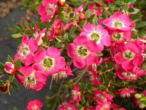 Leptospermum Piccolo