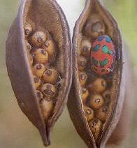 Bracychitonn bidwillii 9