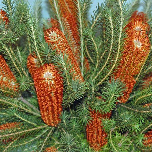 Banksia ericifolia.PNG