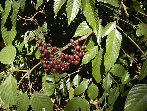 Bandicoot Berry - Leea indica
