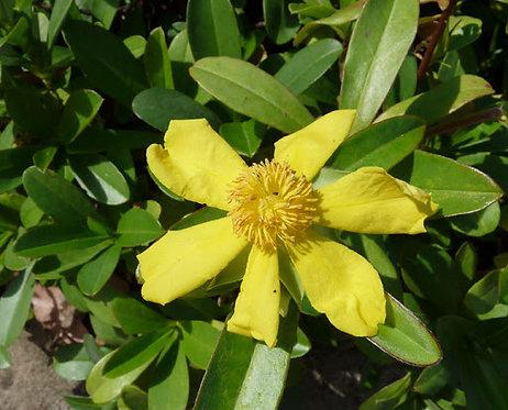 Golden Guinea Flower - Hibbertia Scandens